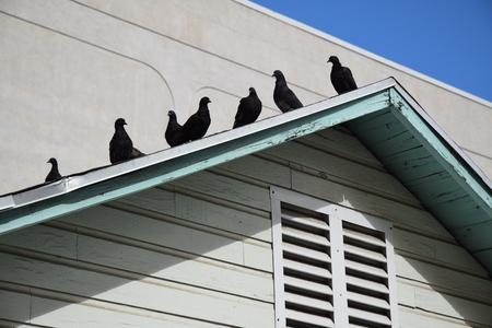 지붕 꼭대기에 매달려있는 비둘기. 스톡 콘텐츠