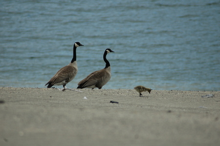 canadian geese: Pait of Canadian geese with gosling. Stock Photo