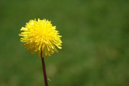 Dandelion In May