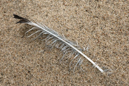 A lone and battered seagull feather, along the shore at Indiana Dunes National Lakeshore Stock Photo