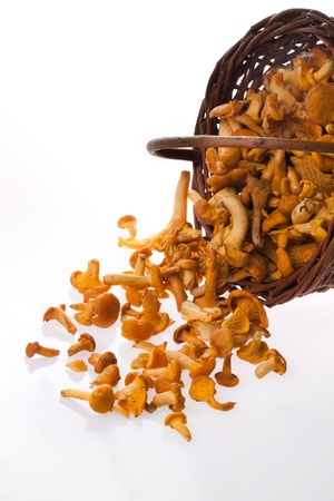 mycology: fresh chanterelle mushrooms from basket isolated over white