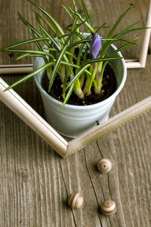 Purple crocus flower in white bucket on old wooden table photo
