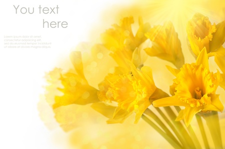 beautiful yellow daffodils over white with bokeh and sample text photo