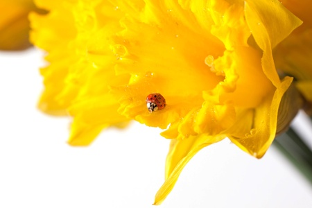 ladybug on beautiful yellow daffodils over white  photo
