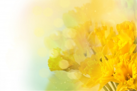 beautiful yellow daffodils over white with bokeh  photo