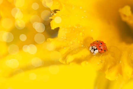 ladybug on wet beautiful yellow daffodils with bokeh photo