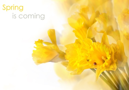 beautiful yellow daffodils over white with ladybug, bokeh and sample text  photo