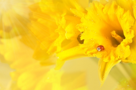ladybug on wet beautiful yellow daffodils with sunlight  photo