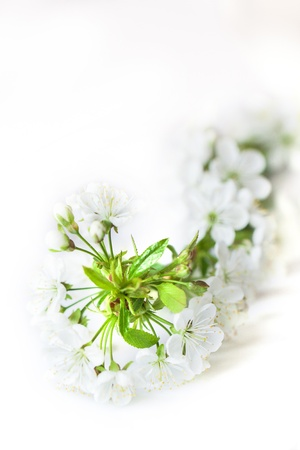 beautiful blossoming cherry branch with white flowers over white isolated  photo