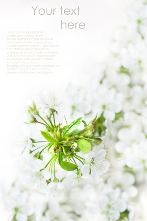 beautiful blossoming cherry branch with white flowers over white isolated with sample text photo