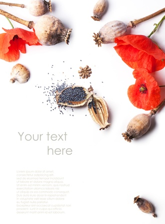 Poppy grains, dry heads and red flowers isolated with sample text photo