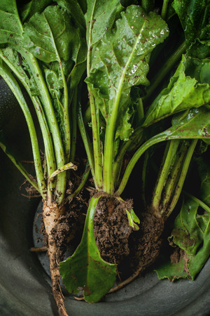 haulm: Bunch of young sugar beet roots with soil and haulm in metal bowl. Top view.