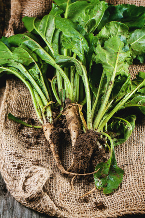 haulm: Bunch of young sugar beet roots with soil and haulm over sacking.
