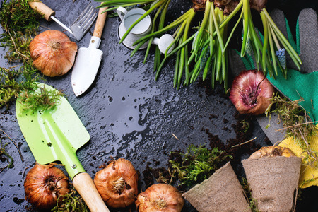Sprouts and flower bulbs ready for planting and garden tools over wet black background. Top view. Standard-Bild