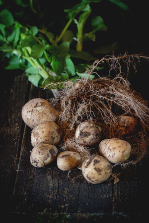 Young potatoes with soil, roots, haulm and leaves over black wooden table. Dark rustic style. Natural day light. Stockfoto