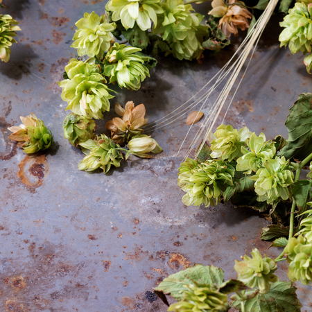lupulus: Fresh branches and cones of green hop and ears of barley over old metal background. Beer concept. Square image with selective focus