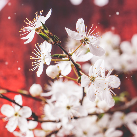 Blossom branch of cherry-tree on red wooden background. Square image with selective focus