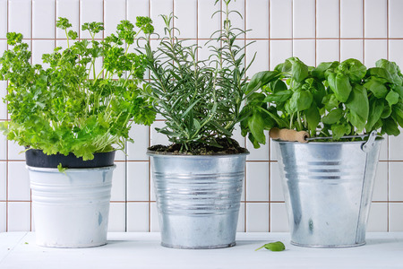 Fresh herbs Basil, rosemary and parsley in metal pots over kitchen table with white tiled wall at background.