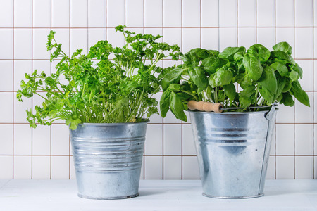 Fresh herbs Basil and Parsley with wet leaves in metal pots over kitchen table with white tiled wall at background.