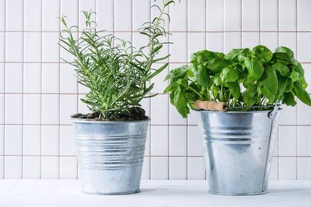 Fresh herbs Basil and Rosemary in metal pots over kitchen table with white tiled wall at background.