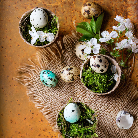 Decor colorful Easter quail eggs with spring cherry flowers and moss in small garden pots on sackcloth over rusty metal background. Dark rustic style. Top view with copy space. Square image