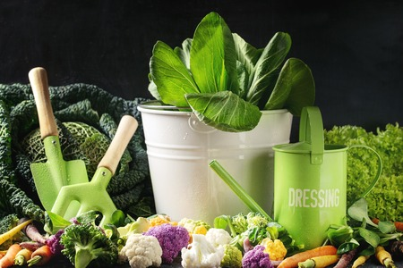 cooking utensil: Variety of raw green vegetables salads, lettuce, bok choy, corn, broccoli, savoy cabbage, colorful young carrots and cauliflower, kitchen gardening utensil over black stone texture background.