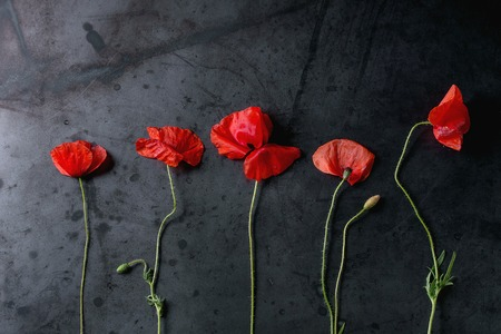 Blossom wild red poppy flowers over dark metal background. Top view with copy space Stock Photo