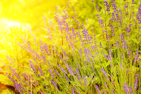 Blossom lavender field in summer day. Selective focus