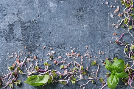 Young radish sprouts with pink himalayan salt and basil leaves over blue texture background. Top view with copy space. Healthy diet concept, food background