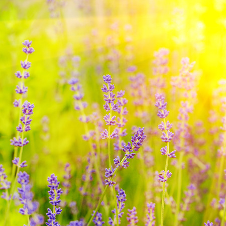 Blossom lavender field in summer day. Selective focus. Square image Stock Photo