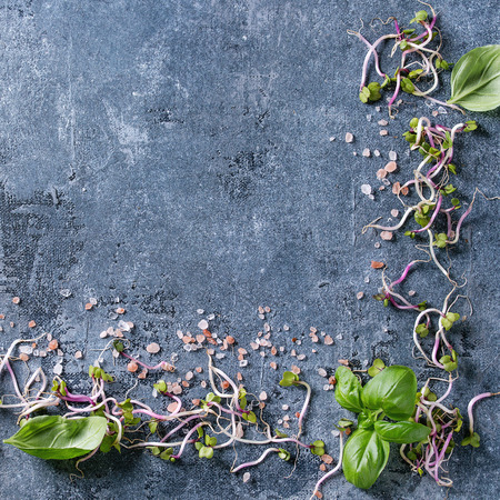 Young radish sprouts with pink himalayan salt and basil leaves over blue texture background. Top view with copy space. Healthy diet concept, food background. Square image Stock Photo