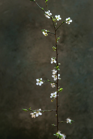 Spring white pear blooming branch over dark texture background. Spring mood. Womens day holiday greeting card