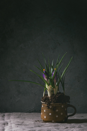 Blossom purple crocuses in ceramic mug standing on linen tablecloth in dark room. Spring interior decorations.