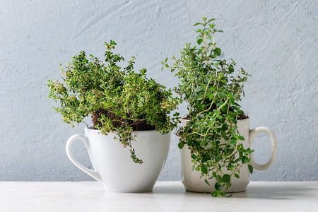 Kitchen table potted gardening greens variety of thymes in white mug over white marble table. Copy space