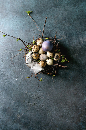 Colored chicken and quail Easter eggs in birds nest with white feather over dark blue texture background. Flat lay, space