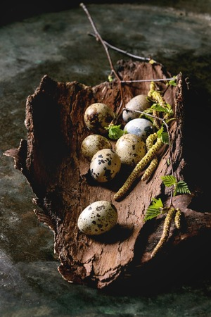 Quail Easter eggs in bark with young blooming birch branches over dark metal texture background.