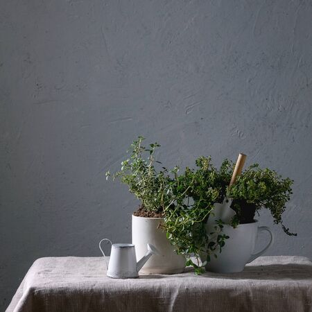 Kitchen table potted gardening greens variety of thymes in white mug over grey linen table cloth with little decorative watering can and shovel. Copy space