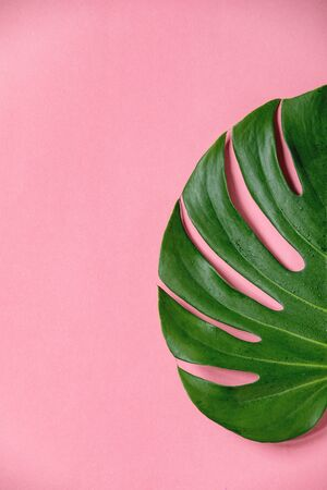 Half of tropical jungle Monstera leaf with water spots isolated over coral background. 版權商用圖片