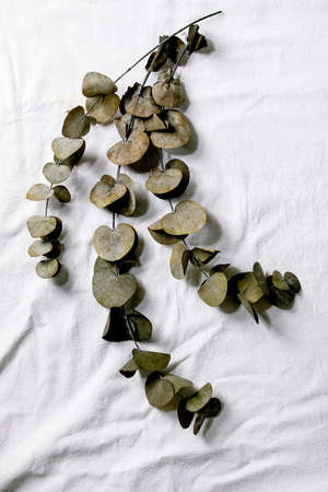 Eucalyptus branches round leaves over white cotton textile background. Flat lay, copy space Stok Fotoğraf