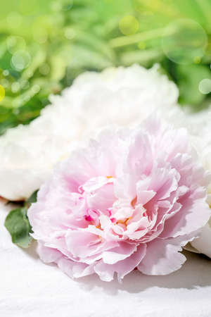 Pink and white peonies flowers with leaves over white cotton textile background. Close up Stock fotó