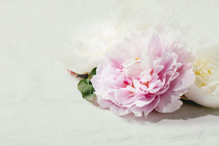 Pink and white peonies flowers with leaves over white cotton textile background. Close up, copy space