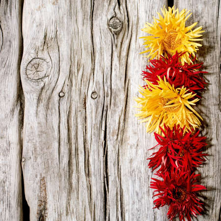 Red and yellow gerbera spider flowers in row composition creative layout over old wooden background. Flat lay, copy space. Square