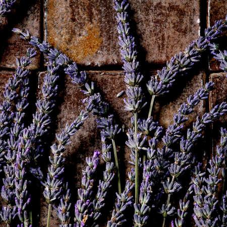 Fresh and dry lavender flowers over dark brown ceramic tile. Flat lay, space. Square 版權商用圖片