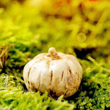 White Ceramic Halloween pumpkins on moss with autumnal background. Fall seasonal Halloween greeting. Square 版權商用圖片