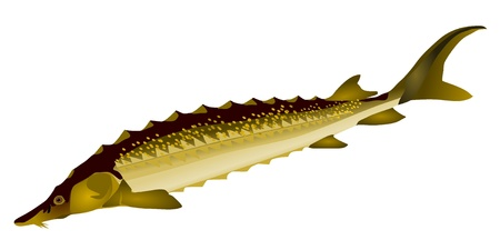 sturgeon: vector image of sturgeon Illustration