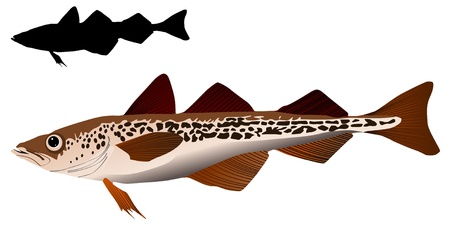 alaska pollock: vector image of Alaska pollack