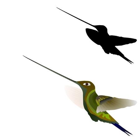 pollinate: Vector illustration of a hummingbird