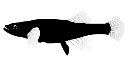 rainbow trout: Vector image of dallia