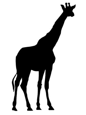 horned: Vector image of Giraffe