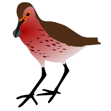 Sandpiper vector drawing on a white background Illustration